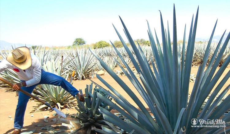 How Is Tequila Made
