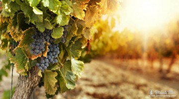 Climate Change Affecting Grapes