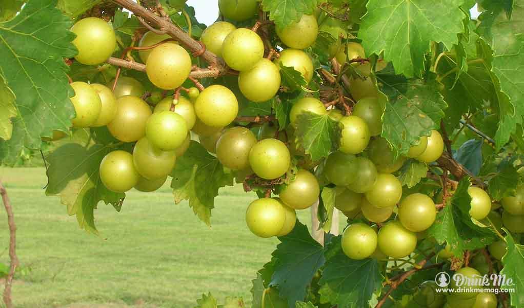 drinkmemag.com the most unusual grape varieties in napa valley drink me