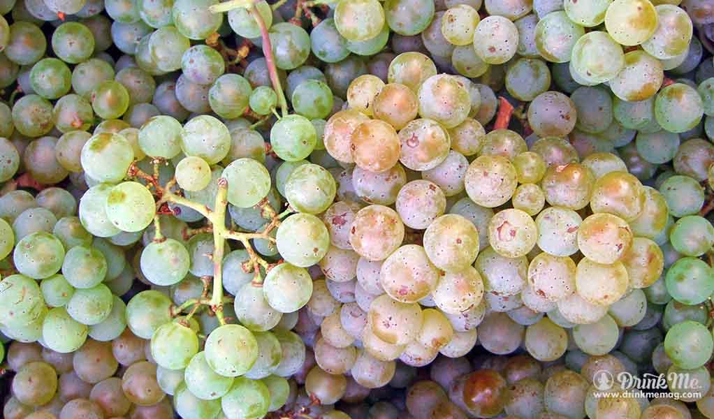 pinot blanc the most unusual grape varieties in napa valley drink me