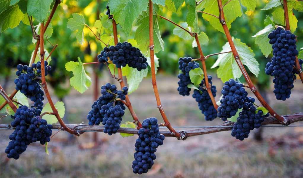 Pinot Noir drinkmemag.com drink me pinot paradise