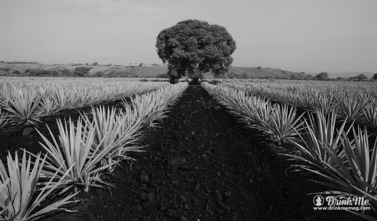 Casa Dragones Agave, Field, Tree drinkmemag.com drink me Casa Dragones