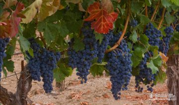 Pedroncellli Winery drinkmemag.com drink me Pedroncelli Winery