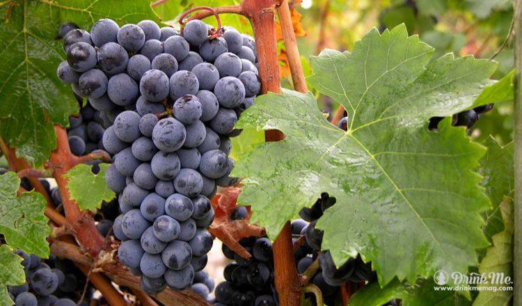 Cabernet Franc Photo Credit CIVB drinkmemag.com drink me Know Your Bargain Bordeaux